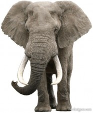 Realistic elephant, vector material