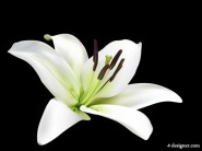 Lilies vector material