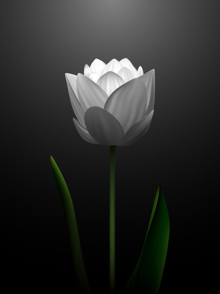 White tulips vector material  2