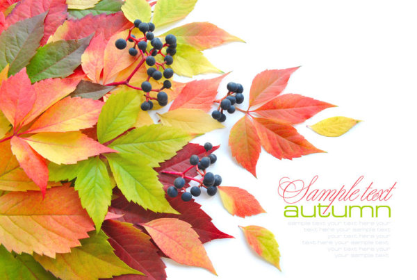 Beautiful autumn leaves 02   HD Pictures
