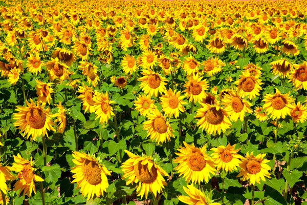 Sunflower flowers of high definition pictures