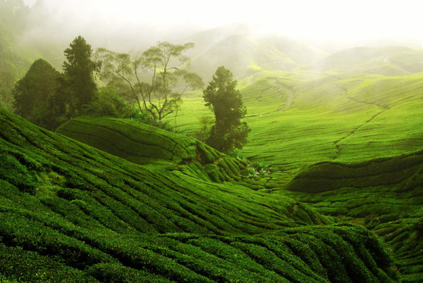 Tea garden landscape   high definition pictures