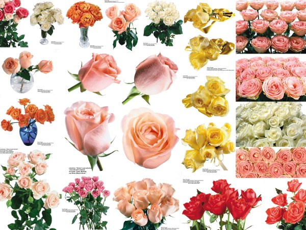 109 colorful roses Pictures  4