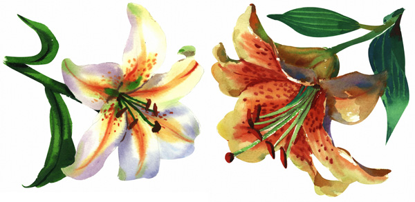 2 Duo hand painted watercolor lilies HD picture