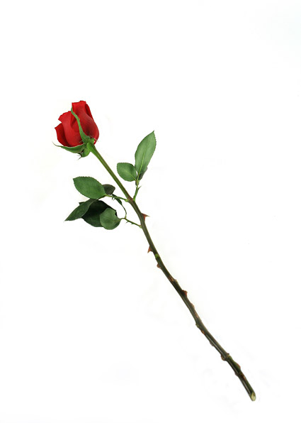 A red roses picture material