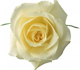 Beautiful rose for 03   HD Images