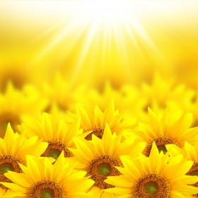 Beautiful sunflower HQ Pictures  4