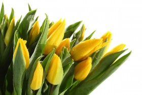 Beautiful tulip 02   HD Pictures