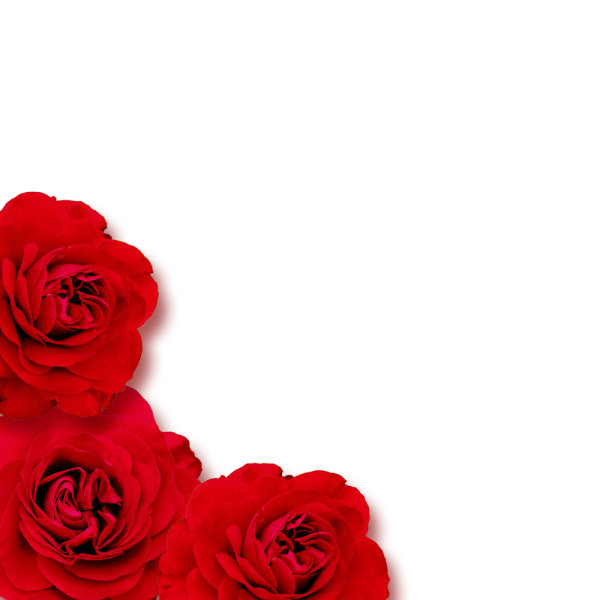 Blooming red roses 01   HD Pictures