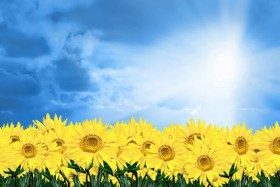 Blue Sky Sunflower picture material