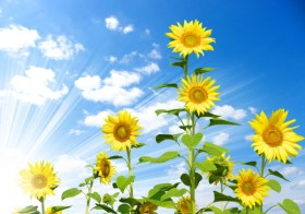 Blue sky with sunflower 03   HD Images