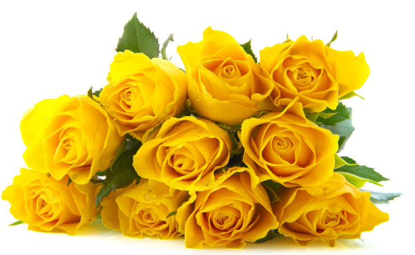 Delicious yellow roses   HD Pictures