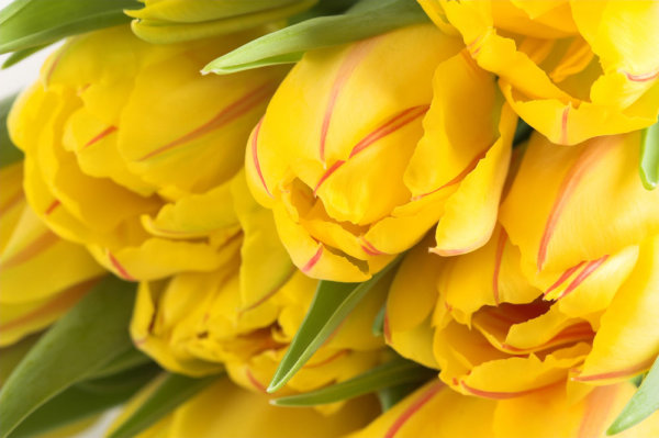 Delicious yellow tulips 01   HD picture