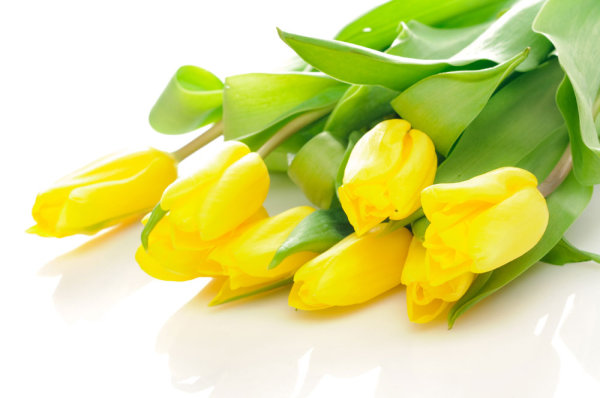 Delicious yellow tulips 03   high definition picture