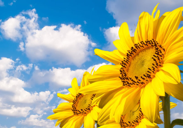 HD picture Sunflower 03   HD Images