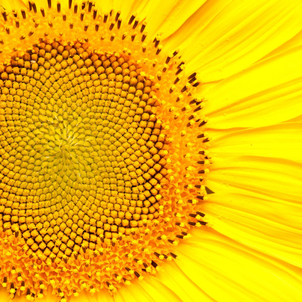HD picture Sunflower 04   HD Images