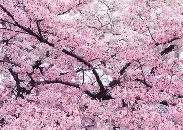 High quality pictures of the cherry trees