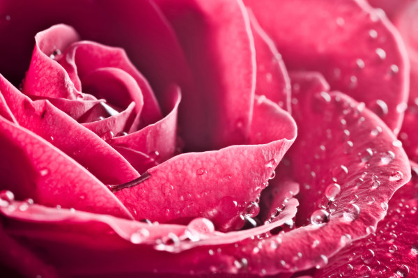 Roses with drops of water close up high definition picture