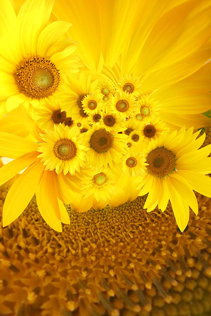 Sunflower background picture footage  4