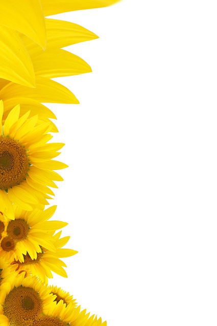 Sunflower background picture material  2