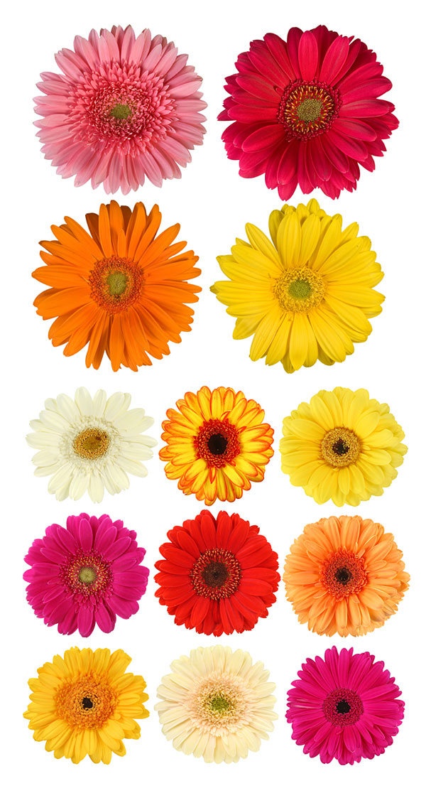 The colorful daisies HD picture