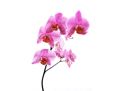 The orchid white picture material  8