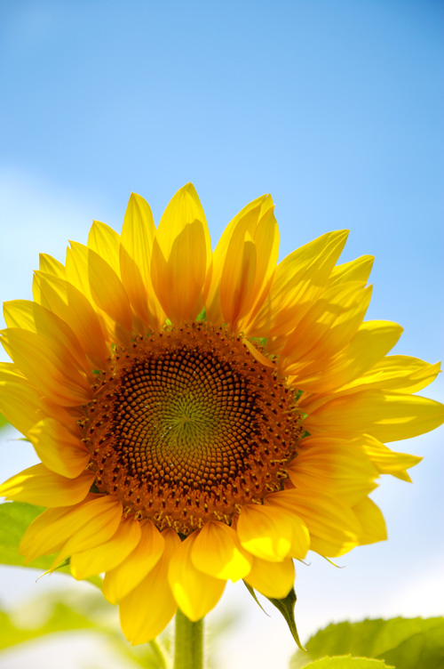 The sunflower HD picture under the blue sky