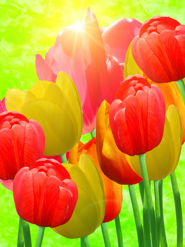 Tulips HD Images