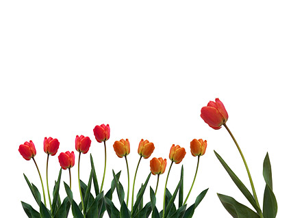 Tulips picture material