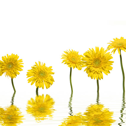 Yellow daisy picture material