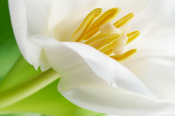 White tulip 01   HD Images