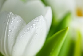 White tulip HD Images