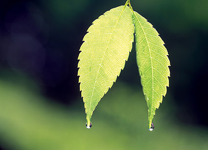 2 chip with drops leaves Images