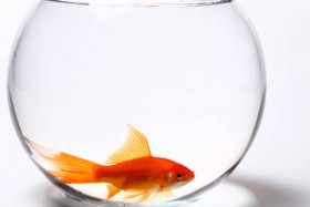 A transparent fishbowl and red goldfish 06   HD Images