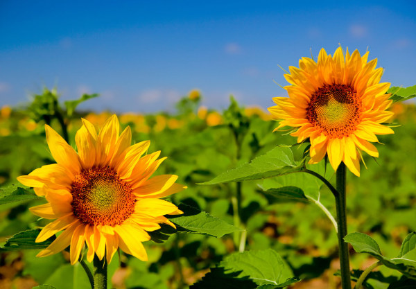 Beautiful sunflower HD Images