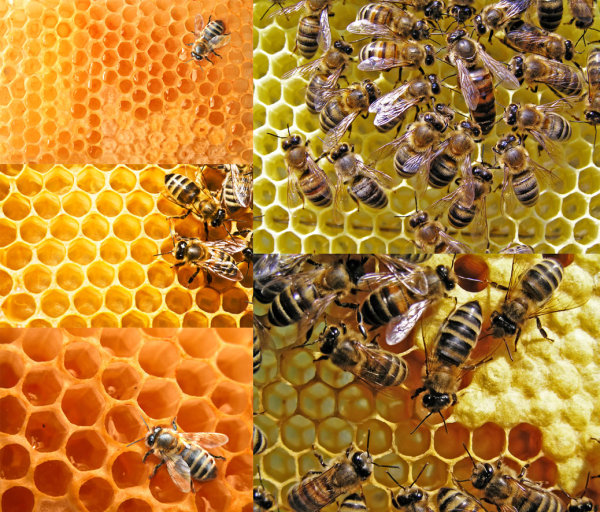 Bee and honeycomb   HD Pictures