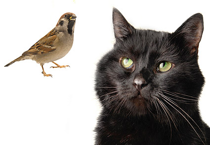 Black cat and bird picture material