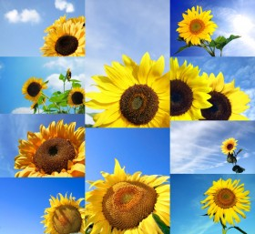 Blue sky with sunflower   HD Pictures
