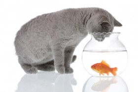 Cat and a goldfish 01   HD Pictures