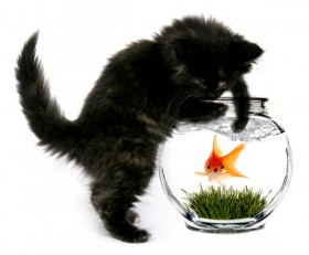 Cat and a goldfish 02   HD Pictures