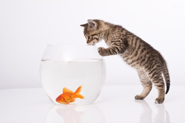 Cat and a goldfish 04   HD Pictures