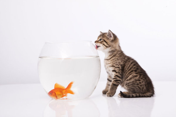 Cat and a goldfish 05   HD Pictures