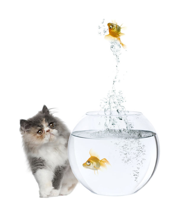 Cat and a goldfish 06   high definition picture