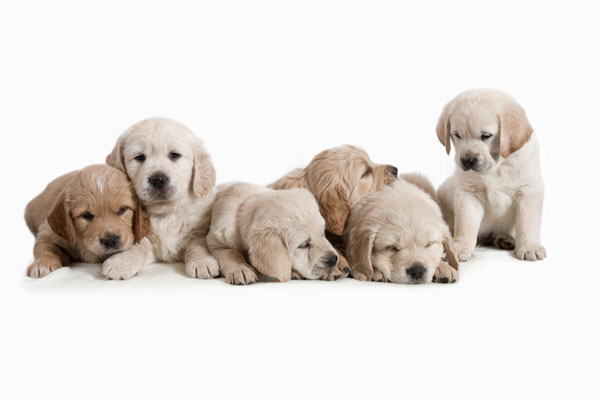Cute puppies 01   HD Images