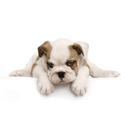 Cute puppy photo picture material  9