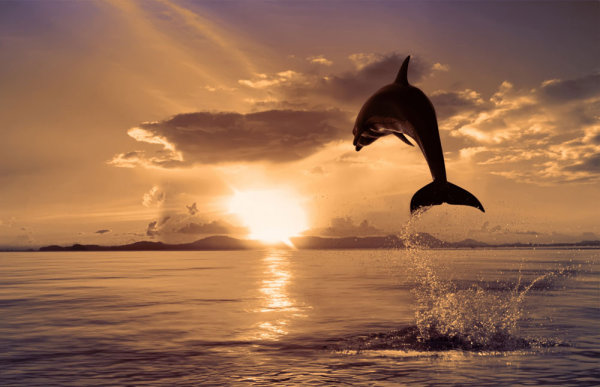 Dolphin jumping 04   HD Pictures