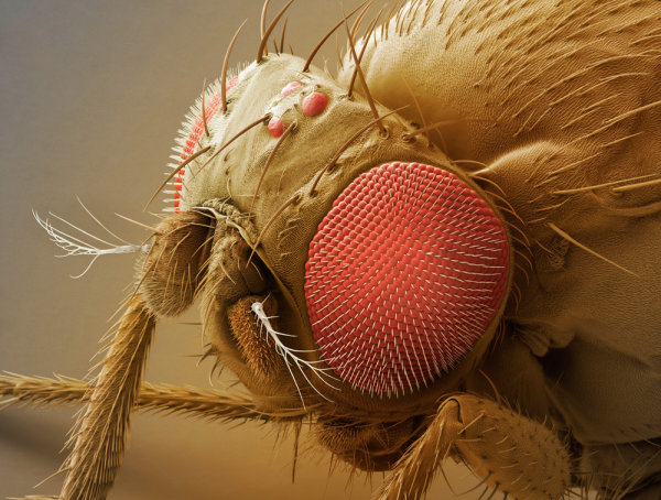 Flies compound eyes super clear