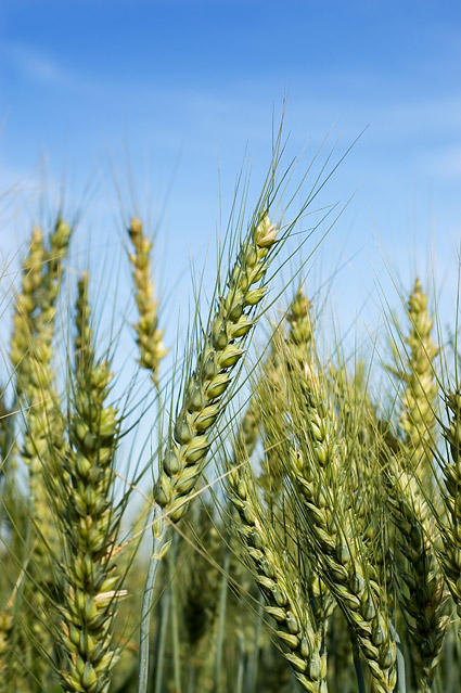 Images of wheat