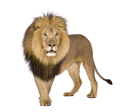 Lion picture material