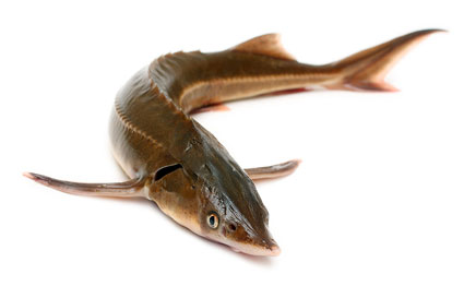 The Chinese Sturgeon picture material